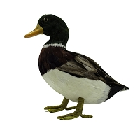 Mallard Male Duck - Green Head - Medium